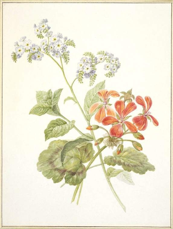 Pelargonium and Saxifraga sarmentosa  Maker:  Knip, Henriette Geertruida; draughtsman; Dutch artist, 1783-1842    Category:  drawing  Name:  drawing    School/Style:  Dutch  Technique:  watercolour