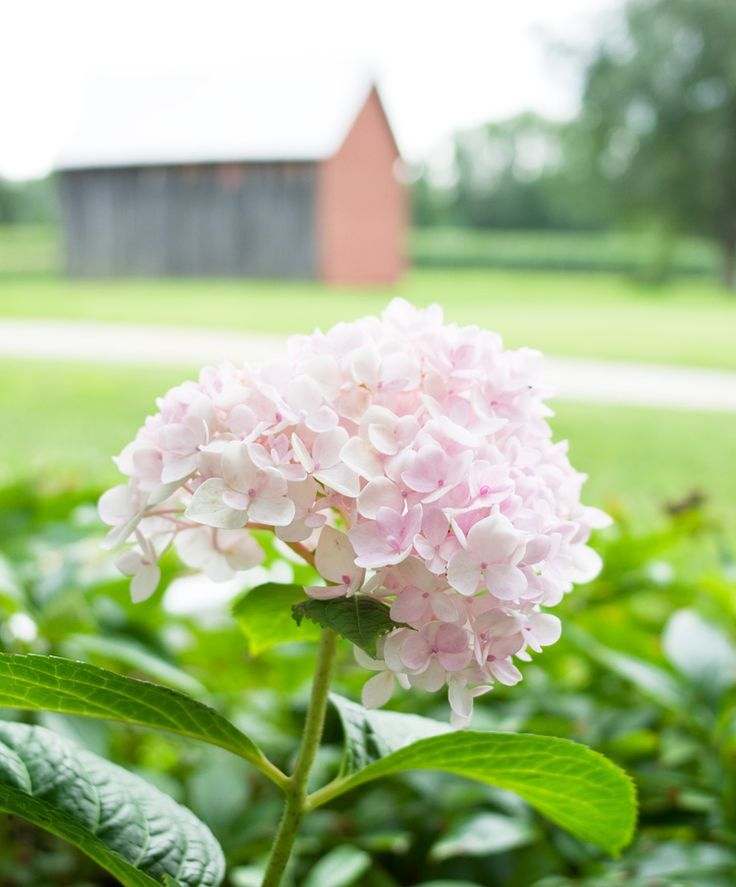 We overhauled our landscaping this year, and we've been watching it bloom all summer. Here are a few favorites from our new farmhouse flower garden landscaping. In the spring, we planted a sad little half dead lilac bush, and it...