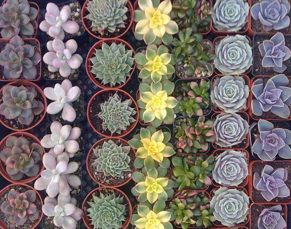 15 SUCCULENT PLANTS Succulent Wedding Favors by Succulentsplus, $45.00