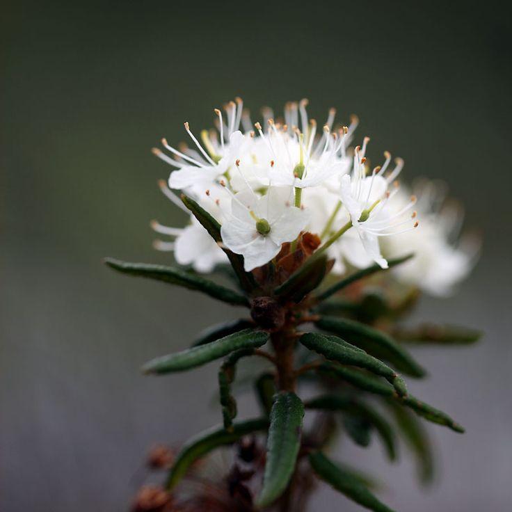 """Larbador Tes in full bloomat hiking path """"Gråstenmon"""", Målerås. Skvattram i full blom på vandringsleden Gråstensmon i Målerås."""