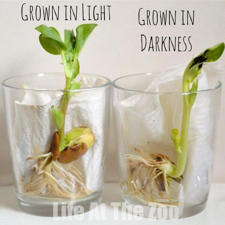 "Bean Growing - a classic childhood science activity - add an extra learning element, by growing one bean in ""light"" and the other ""in the dark""."