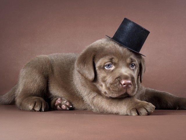 Скачать картинки обои на рабочий стол собачка в шляпе, милые собаки, собака, пёсик, домашние питомцы без регистрации - Обои на р