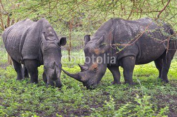 Rhinocéros Noir d'Afrique - Réserve de Bandia (Img.0537)