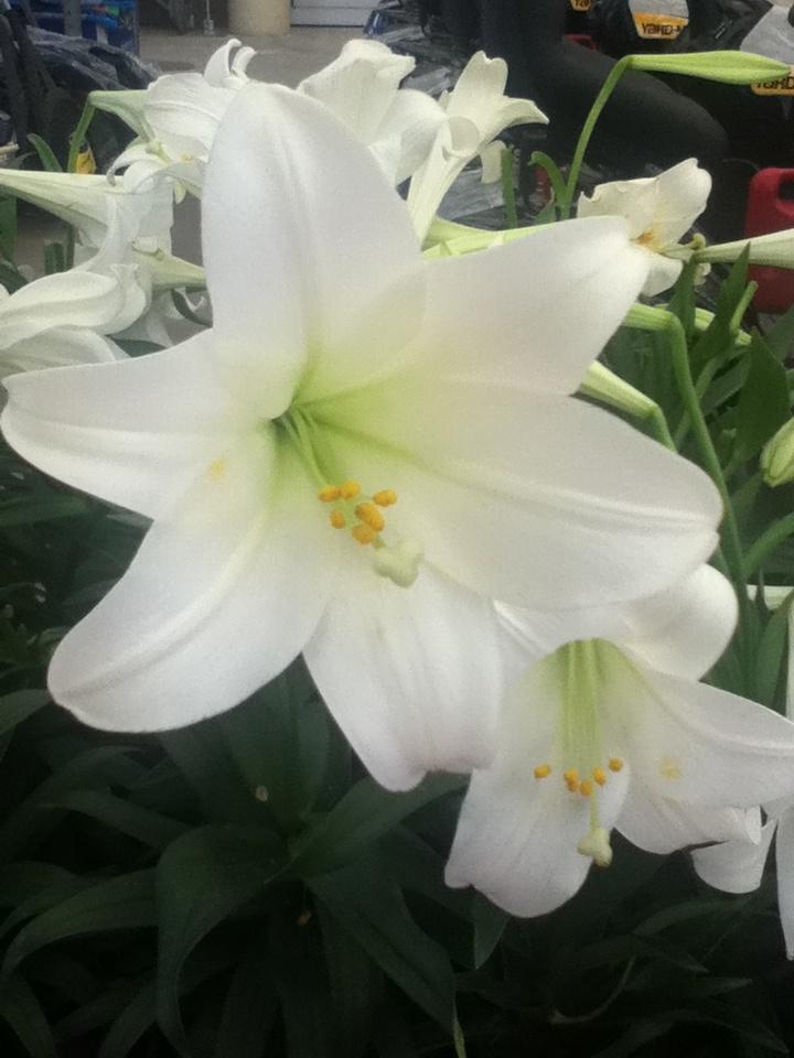 I Love White Lillies