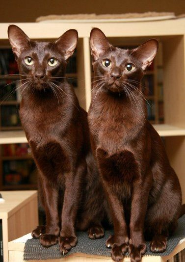 best 25 havana brown ideas only on pinterest brown cat pretty cats and common cat breeds