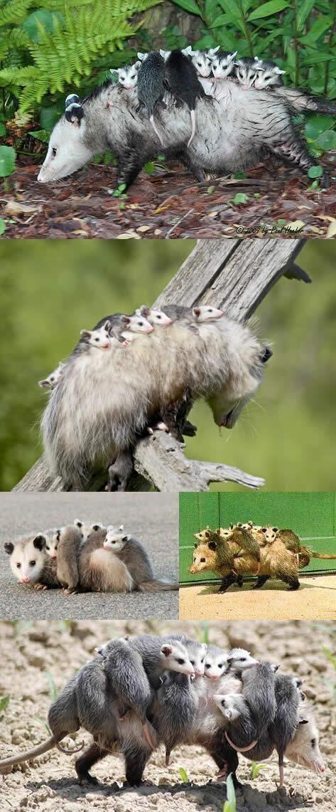 お母さんの背中に乗って移動するオポッサムの赤ちゃんたち(有袋類。しばらくは育児嚢で育てられるが、大きくなると育児嚢から出て、親の背中で過ごすことが多くなる) pic.twitter.com/UnKnfb6LZl