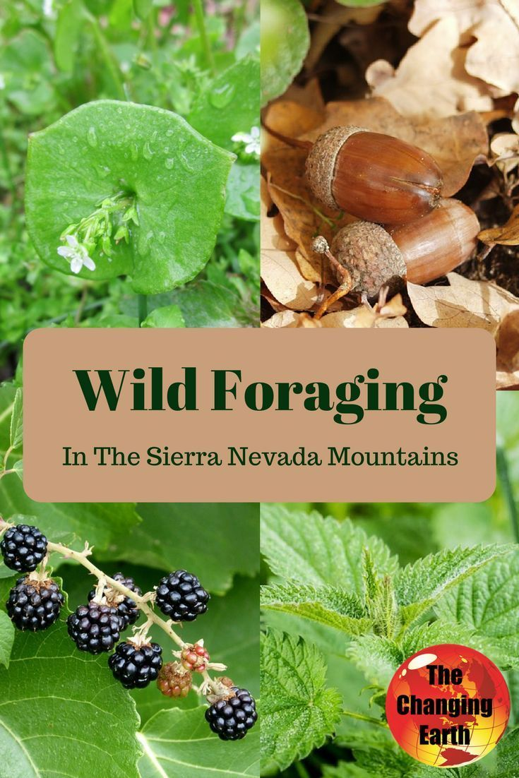 Wild Foraging in the Sierra Nevada Mountains. Learn about all the great things available in nature to feed your belly from Abe Lloyd, after hearing chapter 3 of the apocalyptic adventure novel The Walls of Freedom