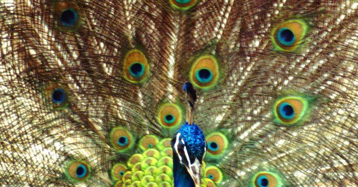 Cómo criar un pavo real. Los pavo reales pueden ser machos y hembras. Estas majestuosas aves son familiares de los faisanes y se distinguen por su gran variedad de colores y por la exhibición que hace el macho de un abanico fino de plumas. En este artículo aprenderás los conocimientos básicos de cómo criar y alimentar a estas bellas aves.