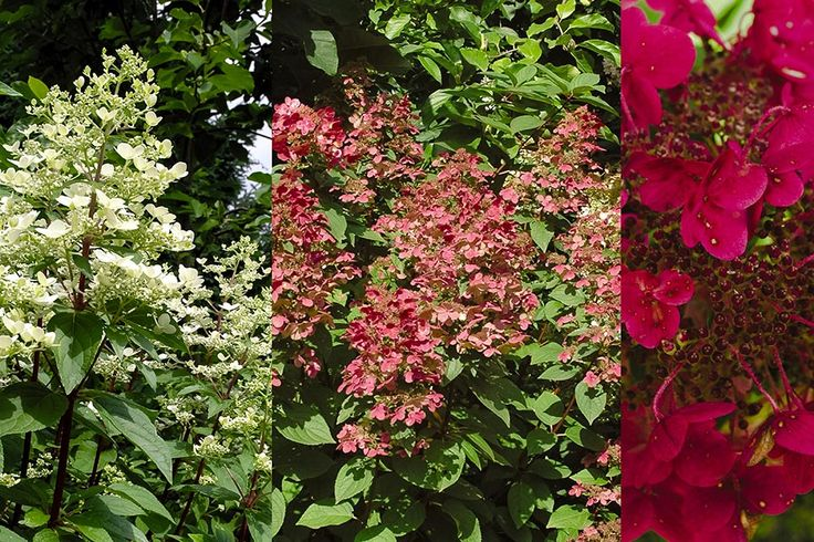 fire and ice hydrangea hydrangea paniculata wims red ppaf garden pinterest hydrangeas ice. Black Bedroom Furniture Sets. Home Design Ideas