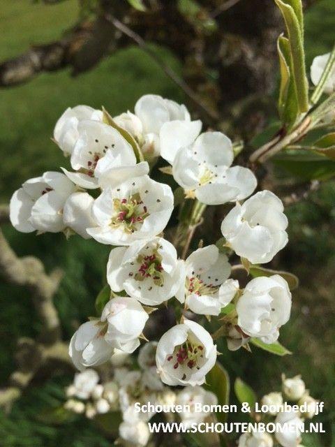 Prachtige bloesem (perenbloesem) in onze perenbomen. Voor karakteristieke oude fruitbomen, notenbomen en laan- en sierbomen bent u bij ons aan het goede adres! (Trefwoorden: bloesem/ oude perenboom/ oude perenboom/ boomgaard)