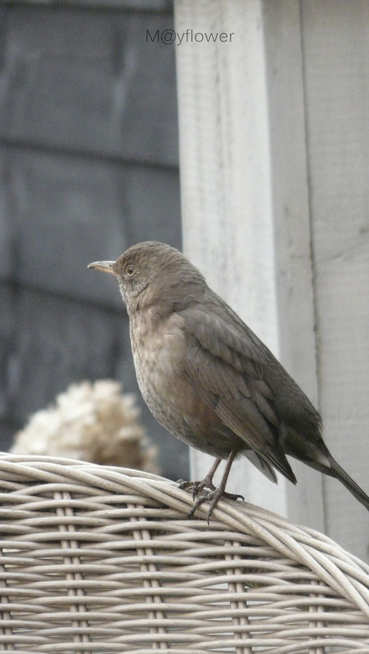 What a beautiful female blackbird.