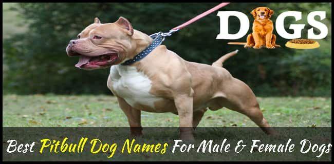 315 Best Pitbull Dog Names For Male Female Dogs Dogsfud Dog