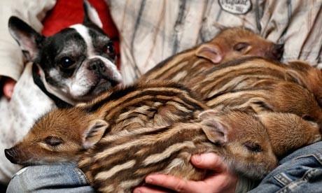 tizie commoventi, bulldog francese, cuccioli di cinghiale, bulldog adotta c