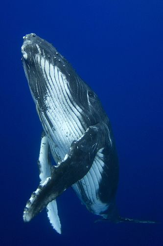 The Humpback Whale, (Megaptera novaeangliae) is a species of baleen whale. One of the largest rorqual species, adults range in length from 12-16 metres (39-52 ft) and weigh approximately 36,000 kilograms (79,000 Ib).