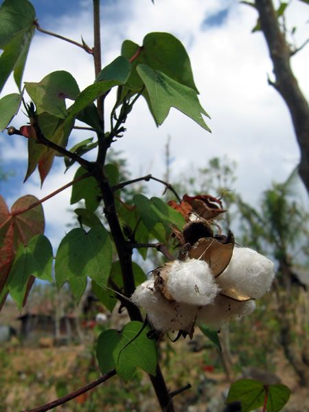 Mature cotton, Timor.   In rural Indonesia, seasons are stitched together with cotton (Gossypium genus). Late in the rainy season, farmers plant local varieties of cotton between rows of corn or other crops. When the rains stop, they bring in the harvest, and leave the cotton to mature. As the weather grows hot and dry, the bolls swell and burst open, and puffs of white cotton fiber spill into the sunlight.