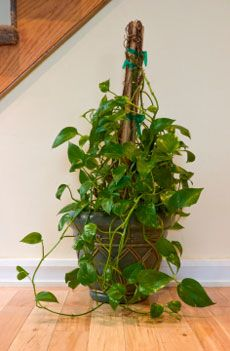how to support climbing houseplants indoors