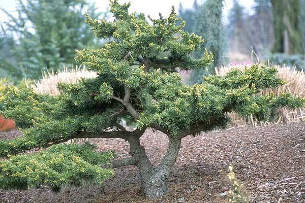 Green Prince Cedar, Oregon State Univ., LANDSCAPE PLANTS