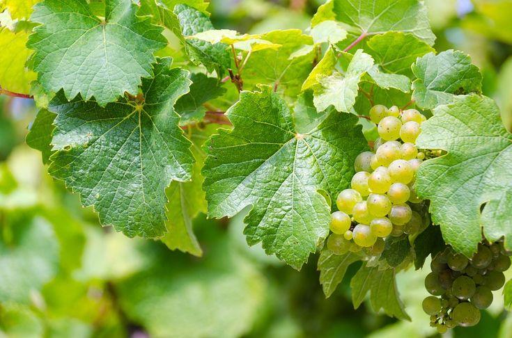 Výhody a účinky hroznových jadérek vás možná překvapí