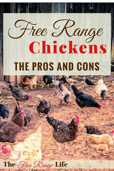 Free Range Chickens can be seen as the ideal way to raise chickens. Let's take a look at the pros and cons and see which way is truly best for you.