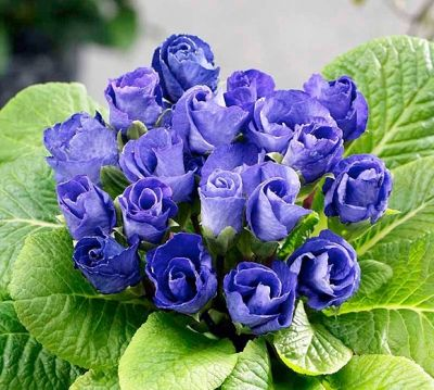 Primula Blue Parade. Примула гибридная Блю Парад
