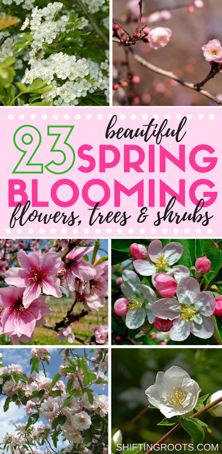 Looking for some beautiful spring blooming plants to add to your garden or landscape?  You'll love these 23 flowers, trees, and shrubs.  Go beyond tulips or lilacs and discover new favourites for your spring flower garden. #springblooms #gardening #landscaping #springflowers #perennials #floweringtree #floweringshrub #shrubs #springflowergarden #flowergarden #flowerbed via @shifting_roots