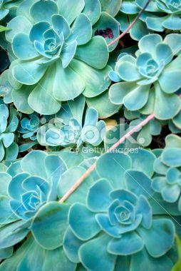 Sempervivum Background Royalty Free Stock Photo