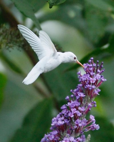 An extremely rare albino ruby-throated hummingbird drinks from a butterfly bush by the Shank family of Staunton, VA.