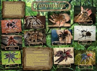 Tarantulas comprise a group of large and often hairy arachnids belonging to the Theraphosidae family of spiders, of which approximately 900 species have been identified. #glogster #glogpedia #tarantulas