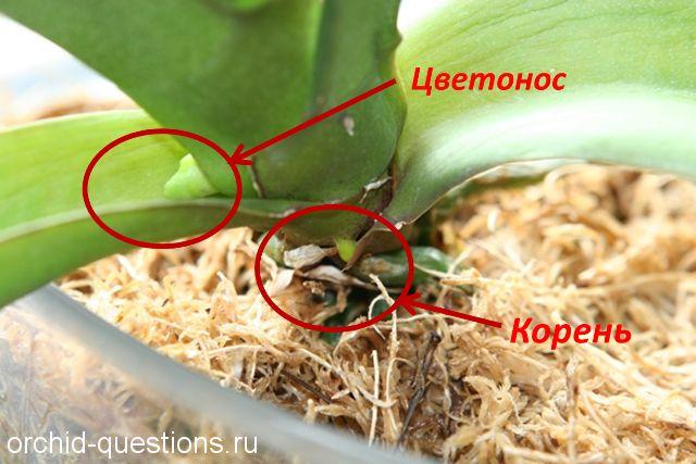 фото цветоносов и корней у орхидеи тёплый, холодный, солнечный