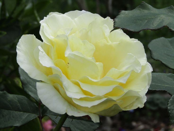 early summer garden 2016. Nov. Rose