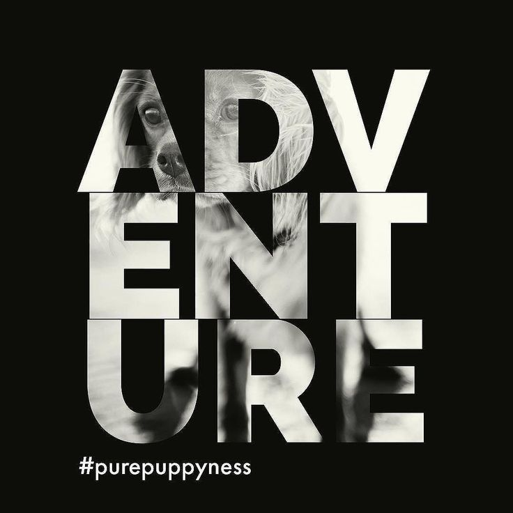New Adventure...#purepuppyness #purelove #europeanpuppy #healthguarantee #happypuppy #puredog #purebreeds