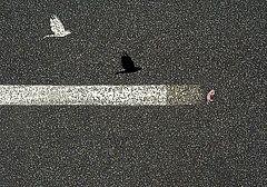 Featured Art - Gosh Hawk Road Kill  by Sarah  King