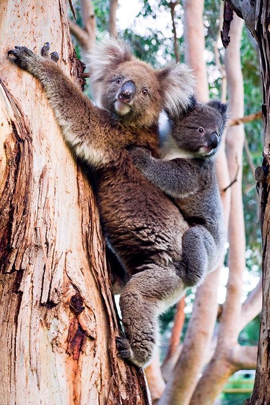 Koalas – Kangaroo Island – South Australia #australia