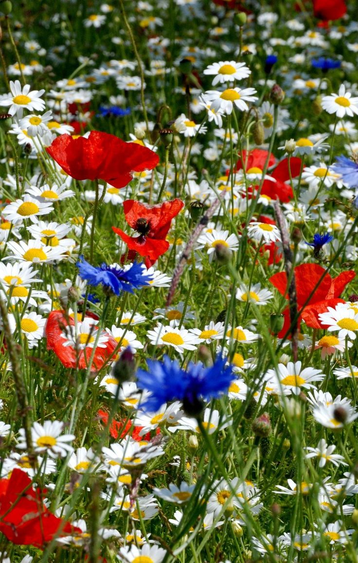Wild flowers in Poland's fields. Chamomiles, poppies and cornflowers.