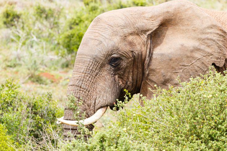 Close up of a Bush Elephant's face Close up of a Bush Elephants face standing in the bushes.