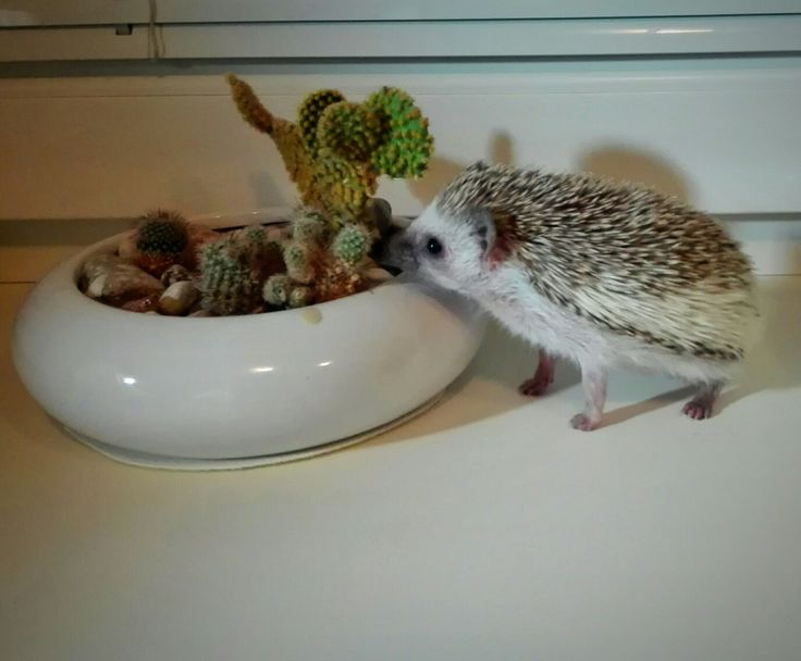 My pet, hedgehog, love, cactus, Rosie, ježek bělobřichý