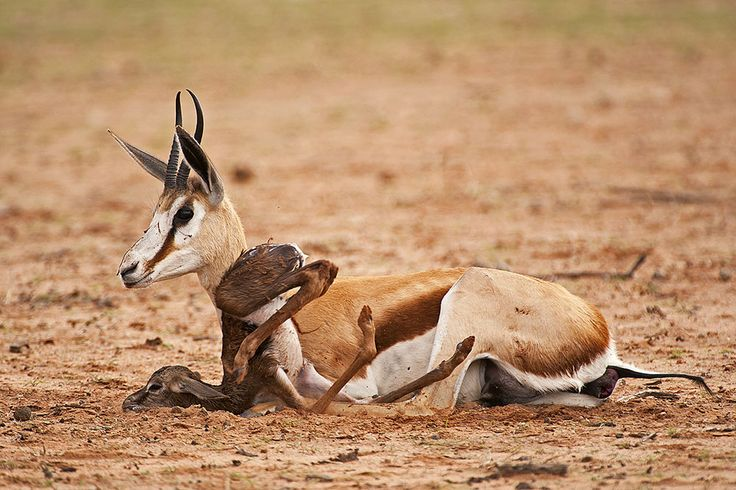 Baby springbok learn to walk 5 minutes after being born in the Kgalagadi Transfrontier Park, Kalahari Desert, South Africa: Photographed by Shane Saunders  (Cape Town, RSA)