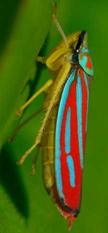 Candystriped Leafhopper  The Candystriped Leafhopper, or Red Banded Leafhopper, Graphocephala coccinea, is such a beautiful insect. It is a shame it is so injurious to plants.