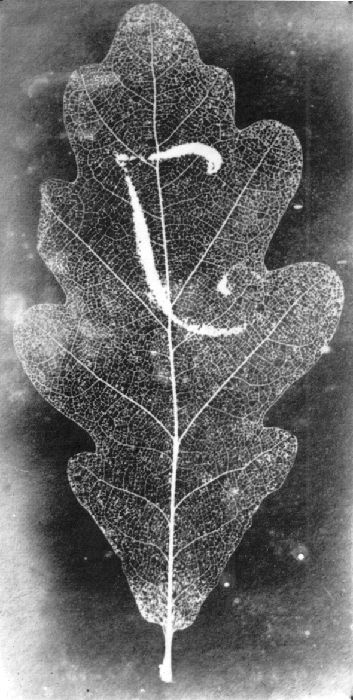 Study of an oak leaf by Sir John Herschel (1792-1871), 26th February, 1839, from his hypo fixing experiments. Apart from the examples of lace this negative photogenic drawing is Herschels only contact image of a real object, rather than an engraving or other form of illustration. The mark on the leaf seems to be a large J.