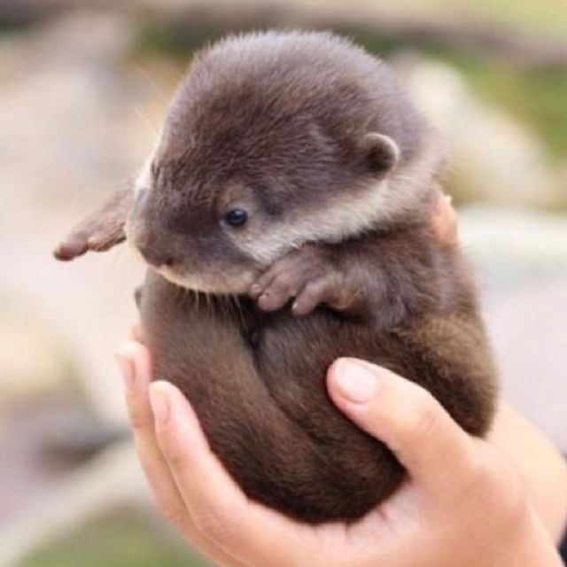 """Baby otter!! Why? Because I think they're ADORABLE, and I think you """"otter"""" know! lol"""