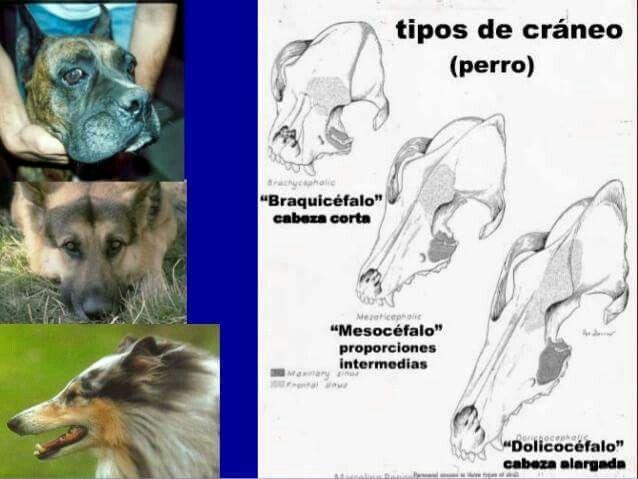 Tipos de cráneos perros