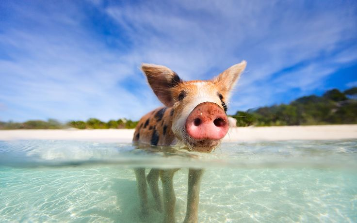 Pig Beach In The Bahamas 1680 1050 animals