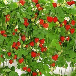 Hänge-Erdbeere 'Hummi®',3 Pflanzen