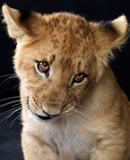 Wow, what a cute baby lion face.
