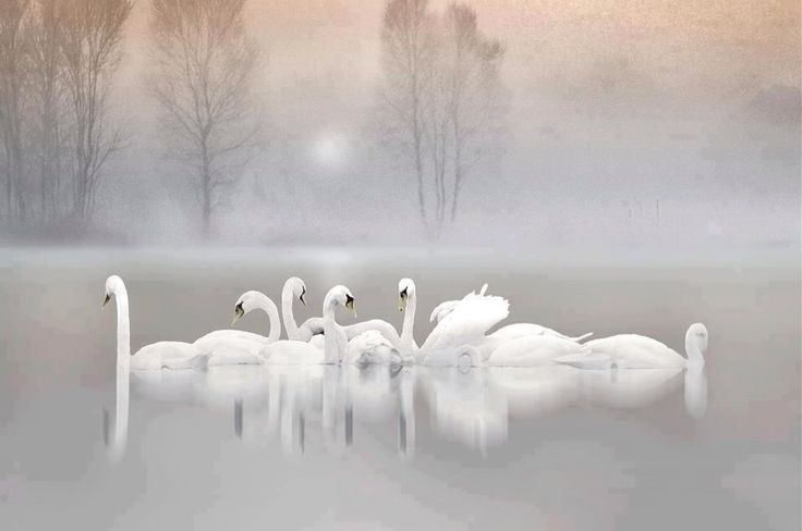 swans on a misty lake