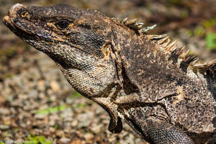 Iguana by Stéphanie Masson on 500px - Shot in Costa Rica.