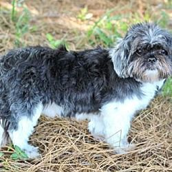 5 18 Zippity Id 13029109 A 9 Yr Old Male Shih Tzu For Adoption At
