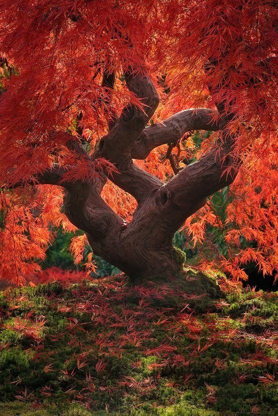 Giant Japanese maple exhibiting it's delicate lacy foilage.