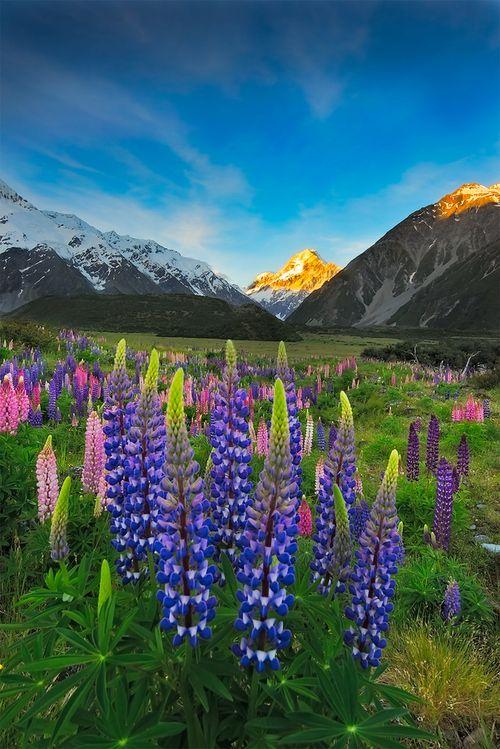 Lupine field in New Zealand