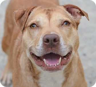 Philadelphia, PA - American Pit Bull Terrier Mix. Meet Bianca, a dog for adoption. http://www.adoptapet.com/pet/16220836-philadelphia-pennsylvania-american-pit-bull-terrier-mix